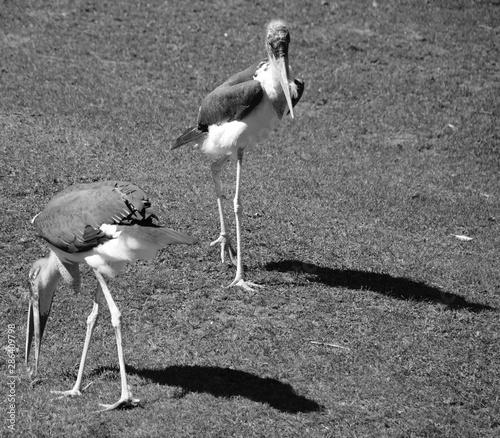 The Marabou Stork, Leptoptilos crumeniferus, is a large wading bird in the stork family Ciconiidae Wallpaper Mural
