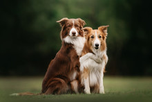 Two Border Collie Dogs Sit In ...
