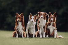 Four Border Collie Dogs Sitting Next To Each Other