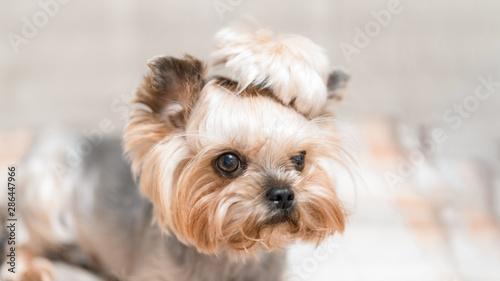 Fotografía  Funny and cute portrait of a terrera puppy.