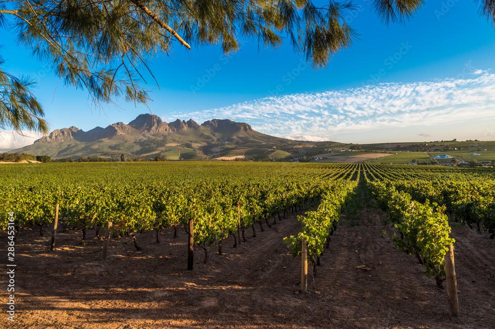 Fototapety, obrazy: Beautiful landscape of Cape Winelands, wine growing region in South Africa