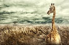 Nubian Giraffe Walking Through...