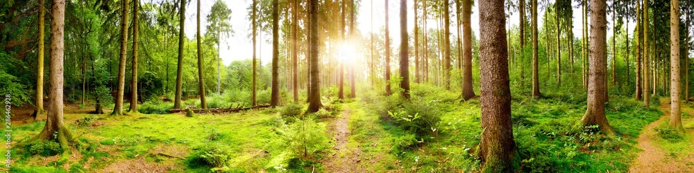 Fototapeta Helles Waldpanorama im Licht der aufgehenden Morgensonne, die durch die Bäume scheint