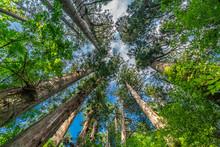 Sugi Trees (Cryptomeria Japoni...
