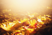 Autumn Leaves Background. Yellow Maple Leaf Over Blurred Texture With Copy Space. Concept Of Fall Season. Golden Autumn Card