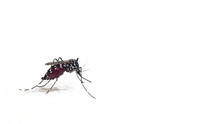 Macro Photography Of A Aedes A...