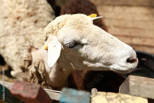 Poster de jardin Vache White lamb in wooden paddock