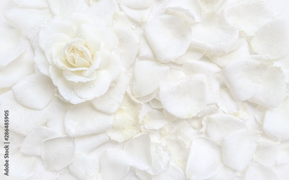 Fototapety, obrazy: Beautiful white rose and petals on white background. Ideal for greeting cards for wedding, birthday, Valentine's Day, Mother's Day