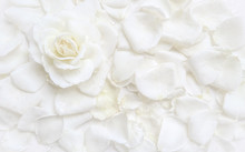 Beautiful White Rose And Petal...