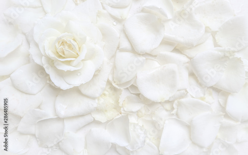Carta da parati Beautiful white rose and petals on white background