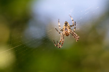 Spider On A Web, Bottom View
