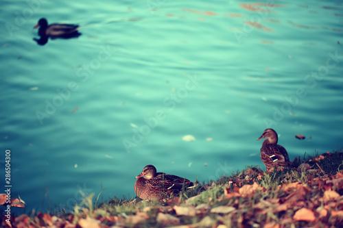 Foto auf Leinwand Reef grun duck autumn park pond / bird by the pond in the park, mallard migratory bird