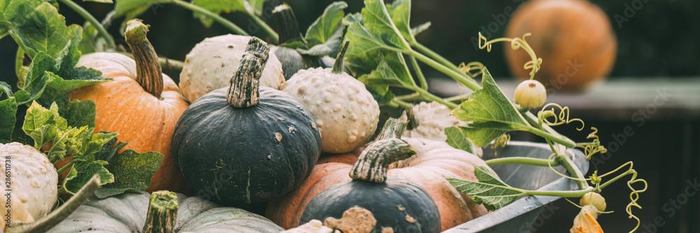 Fototapeta Different pumpkins close-up. Harvest of pumpkins. Banner for your design.