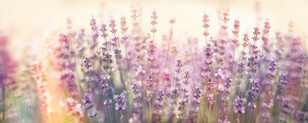 Fototapety, obrazy: Soft focus on lavender flower, beautiful flower in flower garden