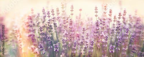 obraz lub plakat Soft focus on lavender flower, beautiful flower in flower garden
