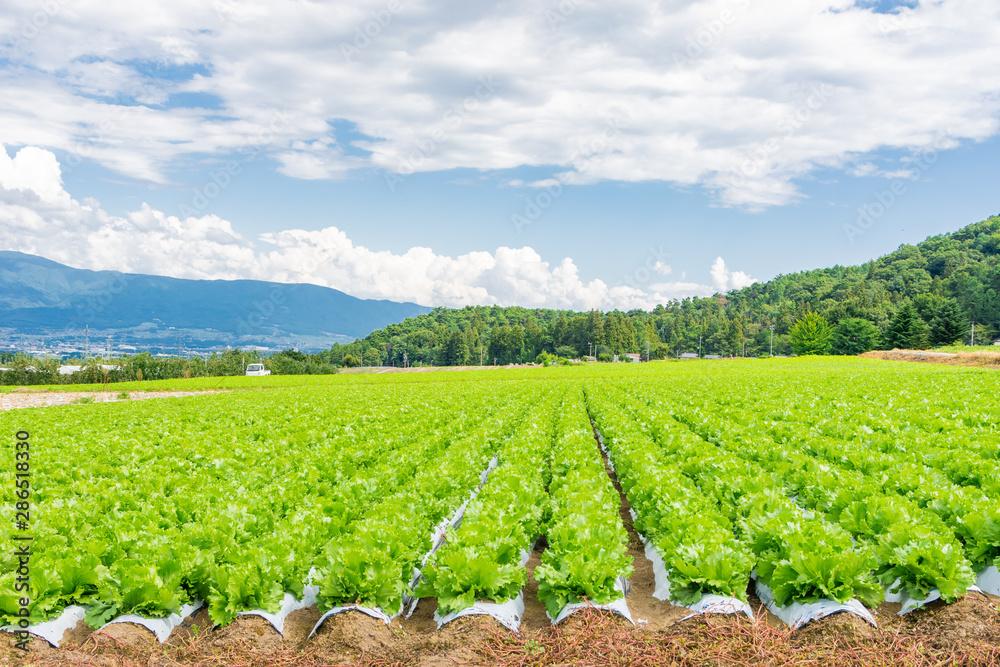 Fototapeta 山形村のレタス畑
