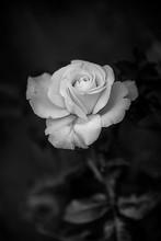 White Rose Black And White