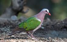 Emerald Dove At Sattal
