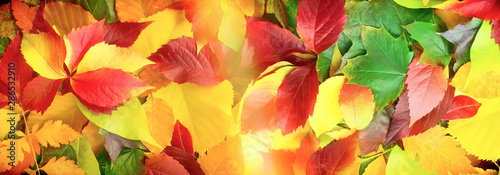 Cuadros en Lienzo Colorful leaves covered the ground, Falling leaves on the ground,  autumn leaves