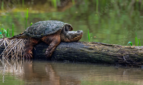 Poster Tortue Snapping Turtle