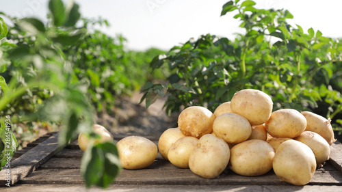 Fotografía Wooden crate with raw young potatoes in field on summer day