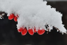 A Branch With Cornus Mas Fruit Covered With Snow