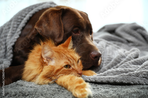 Poster Chien Adorable cat and dog lying under plaid on floor. Warm and cozy winter