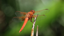 Close Up Of Flame Skimmer