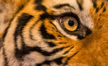 Close Up Of Tiger Face, Tiger Head And Fierce Eyes - Image