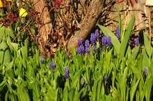 Blue Grape Hyacinths Growing Between Leaves Of Lily Of The Valley