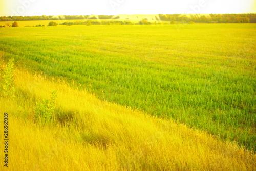 Wall Murals Yellow yellow field of rape