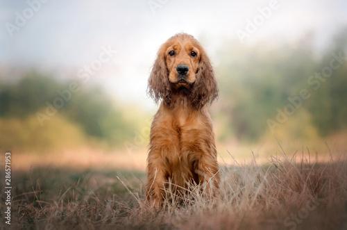 cocker-spaniel-angielski-piekny-pies