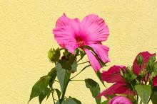 Hibiscus Moscheutos Rose Clair...