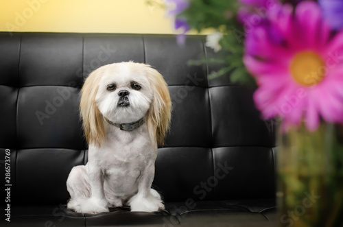 Poster Animaux de Hipster lovely dog ​​shitzu breed portrait funny haircut funny dog