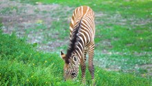 Small Zebra Foal With Brown St...