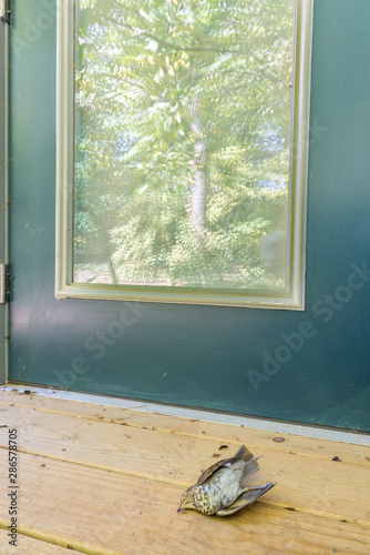Dead Swainson's thrush lying near the glass door it crashed into Fototapeta