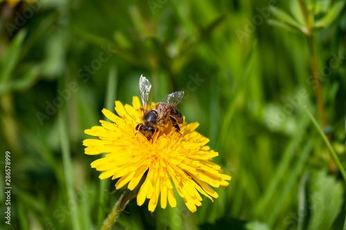 Zapylająca pszczoła - 286578999
