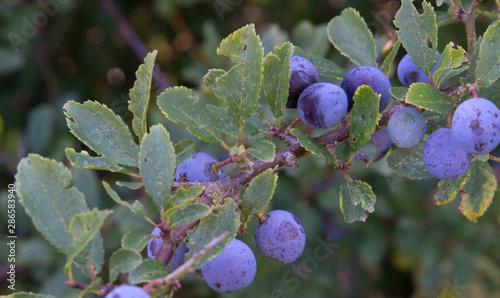 Valokuvatapetti Sloes - fruit of the Blackthorn