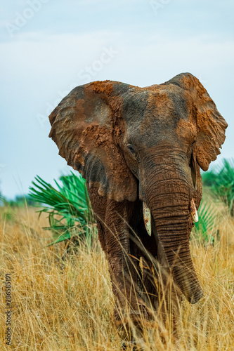Elephant about to charge