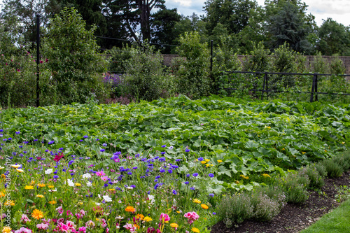 A vegetable allotment surrounded by wild glowers and herbs. Canvas Print