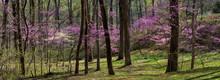 Eastern Redbud (Cercis Canadensis) And Flowering Dogwood (Cornus Florida) Blooming In Woods In Central Virginia In Early Spring.