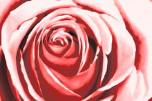 Abstract Pink Rose Watercolour...