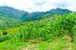 campos llenos de la siembra de maiz