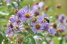 New England Aster Bee