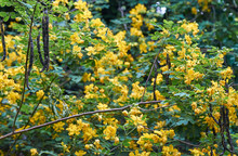 A Green And Gold Image Full Of The Flowers, Seed Pods And Leaves Of The Climbing Cassia(Senna Pendula Var. Glabrata) Plant. The Winter Senna/Easter Cassia Bush Is Native To Brazil And Paraguay.