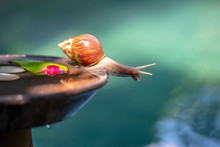 A Snail In A Shell Crawls On A...