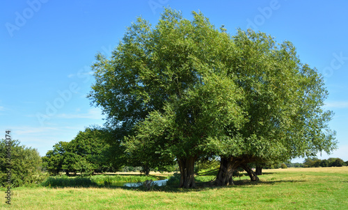Willow trees by the banks of the river Stour in Essex England on a sunny day Wallpaper Mural