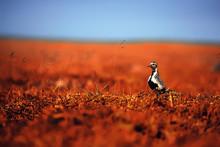 Golden Plover / Bird In The Field, Northern Nature, Wildlife Landscape