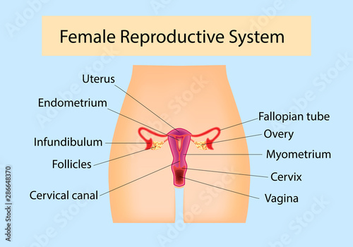 Female Reproductive System useful for education in schools and clinics