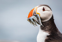 Portrait Of  A Puffin With Fish At The Isle Of May